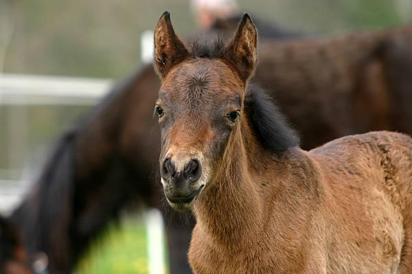 Monchino Pferde