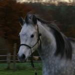 Fellfarbe Schimmel beim Pferd