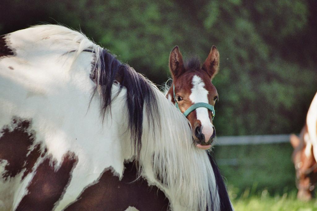 Foto Fohlen bei der Mutter Copyright: Foto Sabine Schafhausen www.gut-groß-poth.de